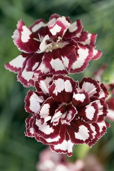 FRUIT PUNCH™ 'Coconut Punch'  Pinks - Dianthus hybrid    Dianthus hybrid