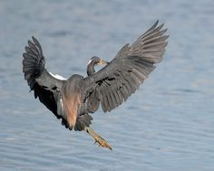 Tricolored Heron prepares for a perfect two point landing