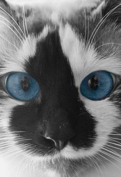 I love the markings on this cat's face along with the beautiful blue eyes!  It is so very precious and adorable!  ~Kathy :) <3