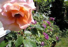 ジュリア一番花開花・奥はブルーフォーユー090521.jpg
