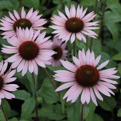 Staudenfoto zu Echinacea purpurea 'Hope ®' (Purpursonnenhut)