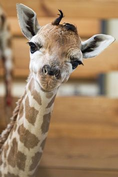 Diana's Baby9 - so this is a newborn giraffe and she's not so sure how she feels about it all.