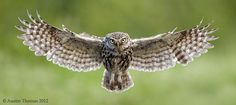 A wild Owl on final approach.