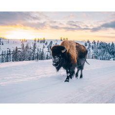 «I want a pet buffalo.»