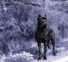 """From """" About Time Cane Corso """""""