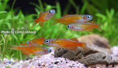 Pseudomugil sp. 'red neon'. Red Neon Blue Eye