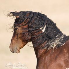A Pretty Alert Wild Bay Paint Mustang Stallion. All The Pretty Horses, Beautiful Horses, Animals Beautiful, Wild Mustangs, Majestic Animals, Wild Horses, Black Horses, Horse Photos, Horse Photography