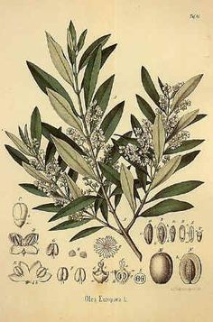 Olive Tree For tattoo inspiration **** can we add an olive tree too?