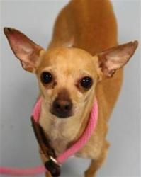 Nino is an adoptable Chihuahua Dog in Westbrook, ME. Hi, I'm Nino. I am a sweet little guy! I am4 yrs. old, I am neutered, my shots are up to date and I am heartworm/lyme negative. I have been micro ...