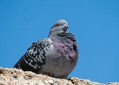 Pigeon, Heraklion