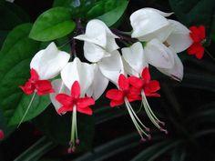 Clerodendrum Thomsoniae - Bleeding heart flower