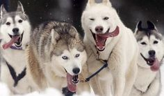 Mush! Alaskan Malamute Huskies.