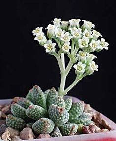 Crassula Ausensis Titanopsis