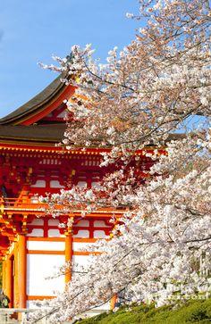 _Kyoto_Sakura_Japan Cherry blossom