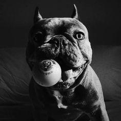 Frank❤❤❤❤❤ the French Bulldog