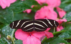 widescreen zebra longwing  butterflies animals wallpaper