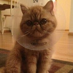 ChipIn: My cat's eye operation