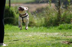 french bulldog elevation. funny! #dog #bulldog