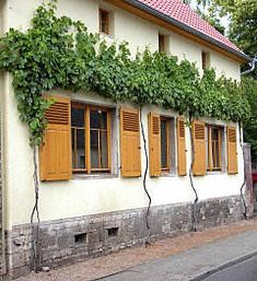 Grapevine espalier. this is cool. must try over somwhere not concrete
