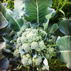 #broccoli #flower #garden #organic #farm #retreat