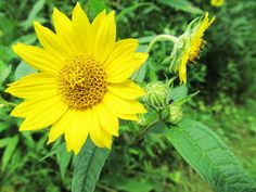 TALL SUNFLOWER: (Helianthus giganteus).  Photographed at Raccoon Creek State Park in Beaver County, PA, August 2016.