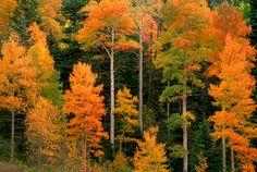 Aspens displaying peak autumn colors in La Veta Pass, Colorado.