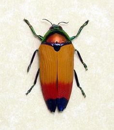 Metaxymorpha Apicalis Real Framed Jewel Beetle metallic red orange Archival Conservation Insect Display