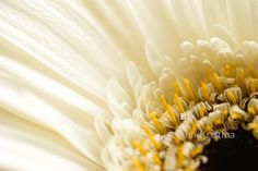 Ann-Kristina Al-Zalimi, gerbera, white gerbera, flower, flora, valkoinen gerbera, detail, close up