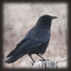 American Crow 8x8 Fine Art Bird Print. $22.00, via Etsy.