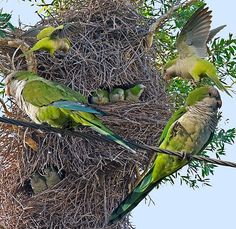 Monk Parakeet Cull: Isn't There A Better Way Than Massacre?  - http://www.parrotshop.org/monk-parakeet-cull/