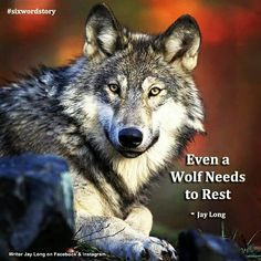 Even a Wolf Needs to Rest #sixwordstory || Jay Long #jaylongpoetry #jaylongquotes love quote pictures life quotes and sayings #writing #poetry #quotes #jaylong ** Visit me on Facebook, Instagram & Etsy at WriterJayLong **