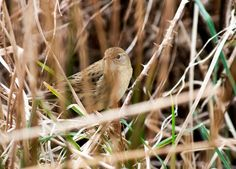 The secretive Grasshopper warbler arrives in Ireland in spring having spent the winter in tropical West Africa. Ireland In Spring, Sand Martin, Willow Warbler, Bird Migration, Flying Insects, Natural Phenomena, Spring Day, West Africa