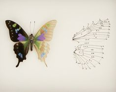 Real Framed Butterfly Skeleton Anatomy Insect by BugUnderGlass