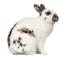The English Spot Rabbit may shed but because its coat fibers are so short you wont notice it too much. House Rabbit, Rabbit Baby, Guinea Pig Toys, Guinea Pigs, English Spot Rabbit, Nature Color Palette, Colour Palettes, Rabbit Breeds, Animales