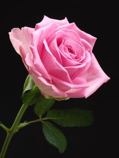 In Your Arms by corri Chella - Photo 128313011 - Love Rose, Pretty Flowers, Pretty In Pink, Pink Roses, Pink Flowers, Beautiful Nature Pictures, Rose Of Sharon, Beautiful Flower Arrangements, Flower Wallpaper