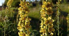 Healing, Herbs, Plants, Pain Relief, Gardening, Makeup, Gardens, Yellow Flowers, Perennial Plant