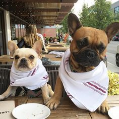 Leo and Friend, at an outdoor Cafe, 2 Funny French Bulldogs, #frenchieleo on Instagram