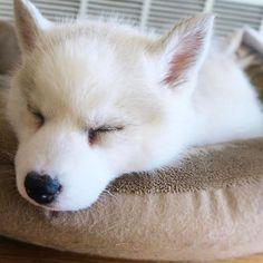 Husky Lab, Siberian Husky Puppies, Husky Puppy, White Husky, Arctic, Dog Breeds, Cool Photos, Corgi, Ocean