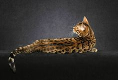A first generation cross is known as an F1. An F2 is the progeny of one F1 parent and one domestic parent (normally another Bengal cat these days)