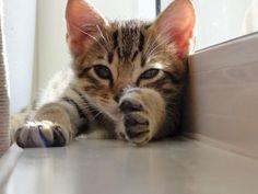 My Ocicat... Kyan