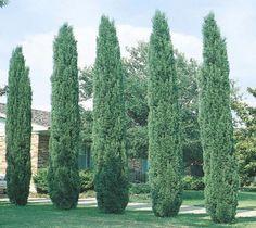 Italian Cypress ( Cupressus ) Driveway