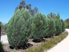 Callitris oblonga - Native pince - Dwarf Cypress Pine, x Tolerates a range of soils and conditions but best in light soil. Cypress Pine, Small Trees, Drought Tolerant, Dwarf, Garden Ideas, Range, Plants, Cookers, Landscaping Ideas