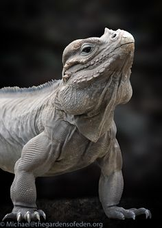 Rhinoceros Iguana - look at the muscle definition!