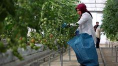 Antalya çiftçisinin kulağı Rusya'da
