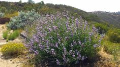 Salvia Pozo Blue bursting with flowers in Chaparral.