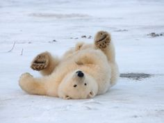 Polar Bear Cub Rolling Around, Arctic National Wildlife Refuge, Alaska, USA Photographic Print by Steve Kazlowski at Art.com