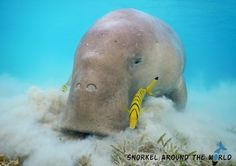 Snorkel with a dugong in the Marsa Mubarak - Marsa Alam (Egypt)    Photo was taken by Anett Szaszi with a Nikon Coolpix Aw120 camera.    Read the camera review here:    http://snorkelaroundtheworld.com/2015/10/waterproof-compact/