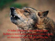 O lobo Ibérico é um animal que habita o nordeste transmontano e que se encontra em vias de extinção.