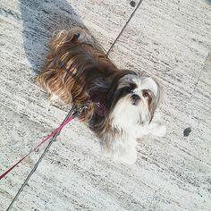 [Shih-tzu a spasso] ---- Questo è il classico comportamento del mio cane: buttiamoci per terra e non camminiamo più.  #dog #dogs #puppy #pup #cute #eyes #instagood #dogs_of_instagram #pet #pets #animal #animals #petstagram #petsagram #dogsitting #photooftheday #dogsofinstagram #ilovemydog #instagramdogs #nature #dogstagram #dogoftheday #lovedogs #lovepuppies #hound #adorable #doglover #instapuppy #instadog #shihtzu