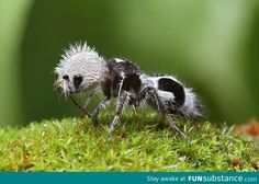 The panda ant, Euspinolia militaris, is actually a species of wingless wasp. Found in Chile, panda ants are elusive creatures. The females resemble large hairy ants. Bizarre Animals, Unusual Animals, Rare Animals, Amazing Animals, Interesting Animals, Animals Beautiful, Ugly Animals, Exotic Animals, Insect Photography